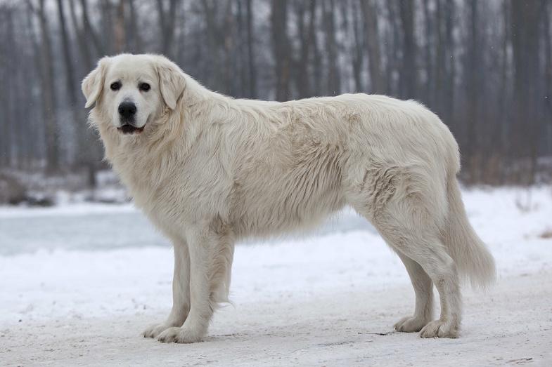 Slovenský čuvač - pes